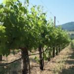 sabrina-grapevines