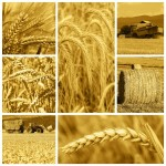 cereal crops and harvest