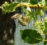 Bees - Pollen