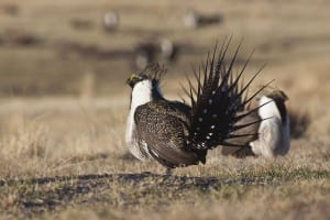 Side view of a bi-state sage-grouse. Bureau of Land Management photo.