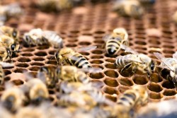 bees working in the honey production