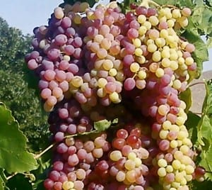 Table Grape Shipments