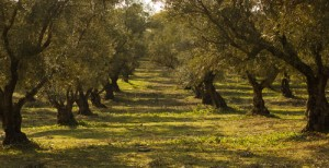 New Olive Growing Cost Studies Agnet West