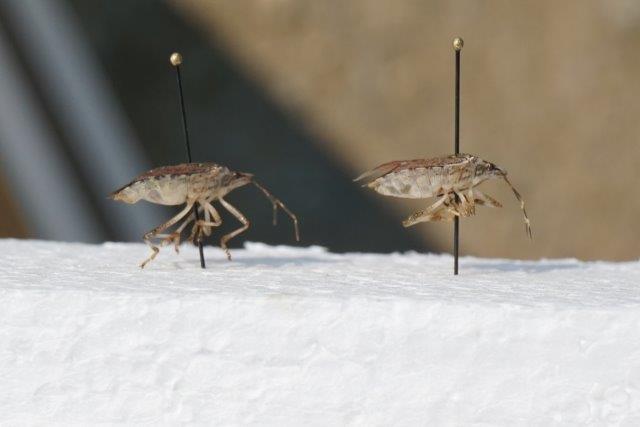 asian wasps