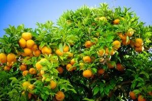 Ripe oranges. oranges on a citrus tree