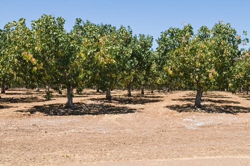 Rows of pistachio nut trees