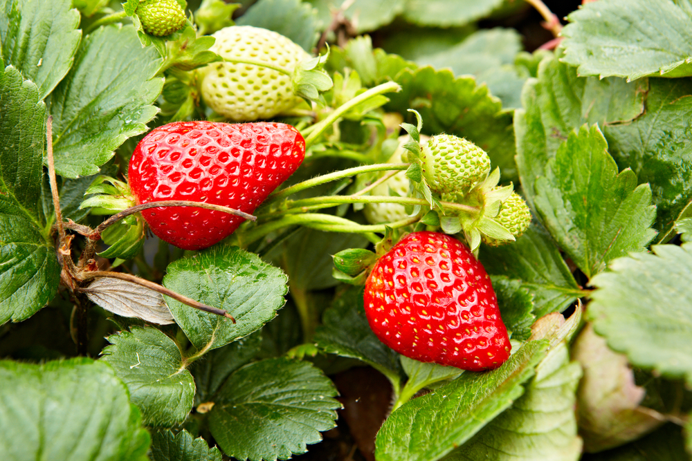 National Pick Strawberries Day Southeast Agnet