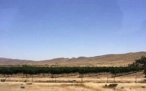 An experimental vineyard in the Negev Desert