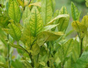 hlb citrus greening