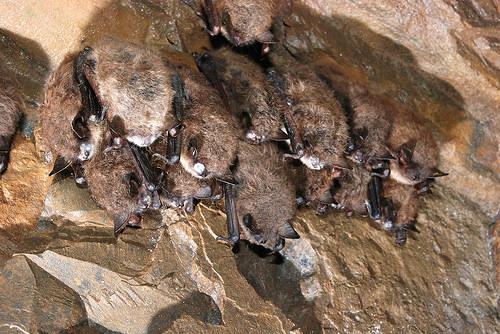Image result for Bat Decline