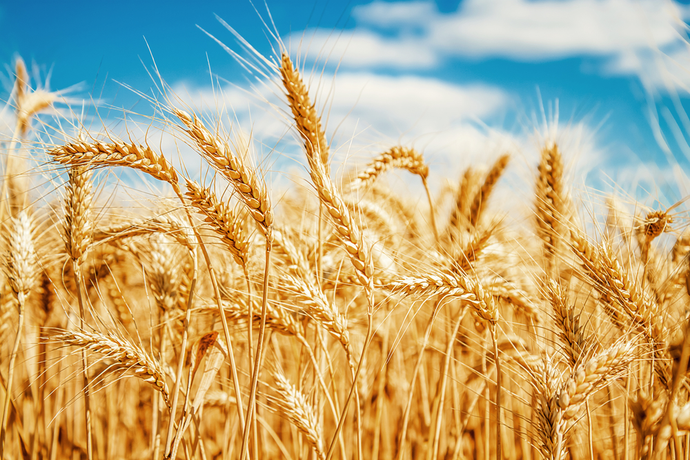 No GMO Wheat Found in Commercial Supplies | AgNet West