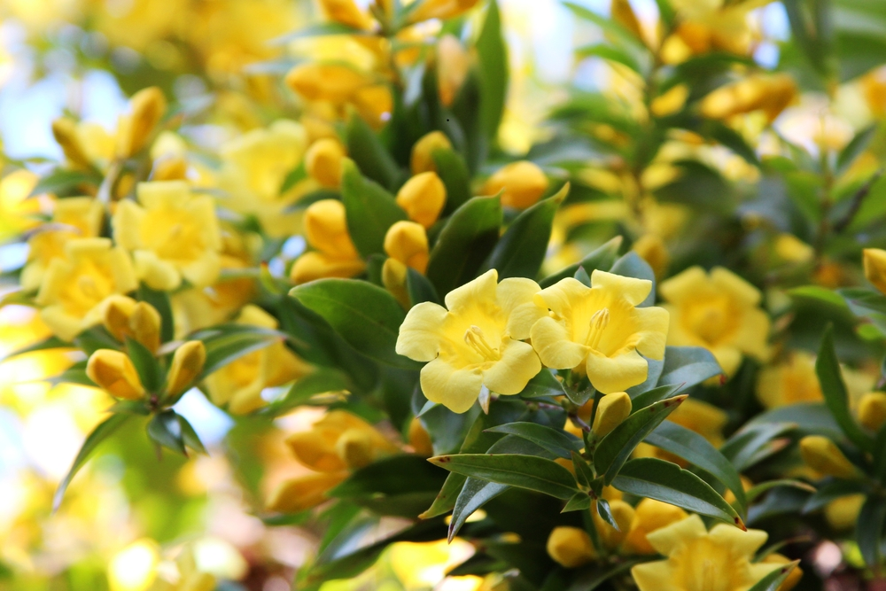 Vines controlling temperature southeast agnet yellow flowers blooming on carolina jessamine mightylinksfo