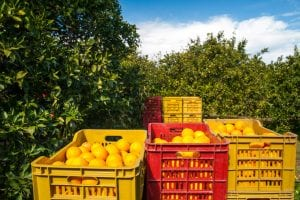 California citrus production has surpassed Florida and has taken over as the newest leader for American citrus production. Forecasts also indicate that California will continue in its new position as Florida continues to deal with hurricane aftermath and continued disease pressure.