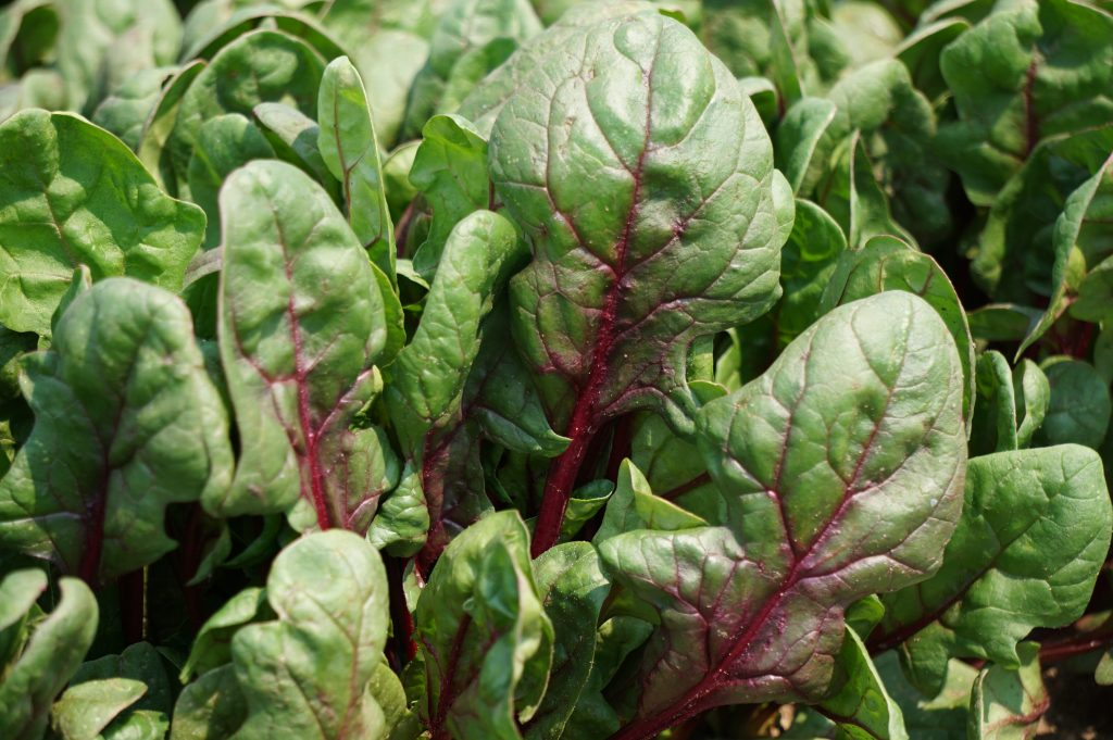 Spinach Varieties