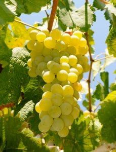 California Table Grape Industry