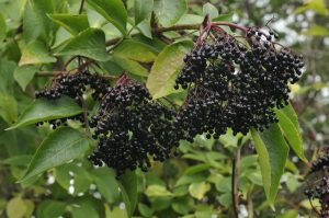 Elderberry Project