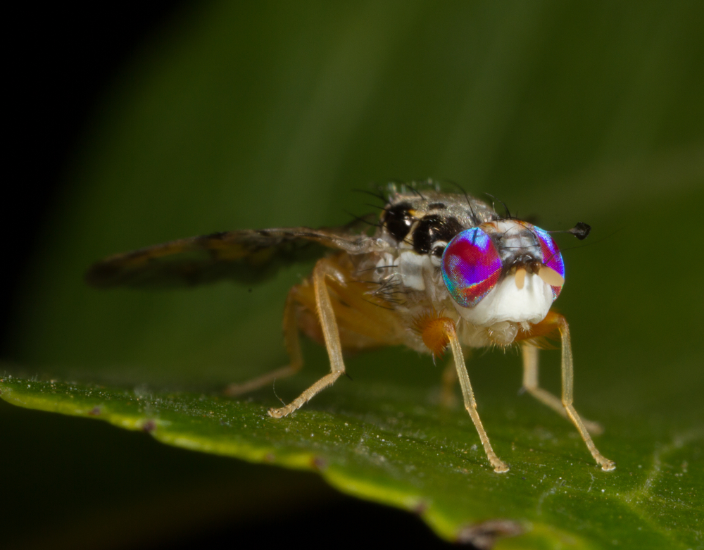 A close up of the Mediterranean fruit fly, Ceratitis capitata.