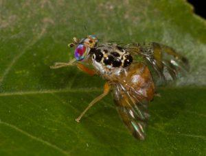 Medfly Quarantine