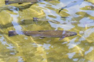 brown-trout feed