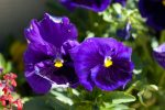 year pansy