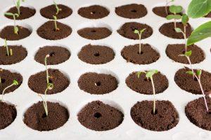 germinating