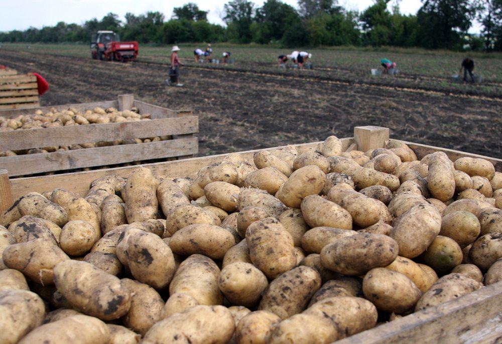 National Potato Council on Continued Mexican Potato Ban
