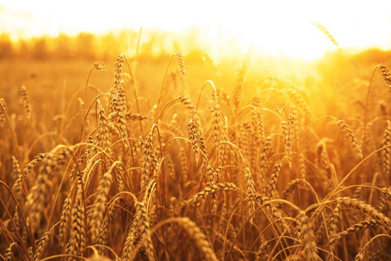 EU Wheat Harvest Hit Hard by Drought | AgNet West