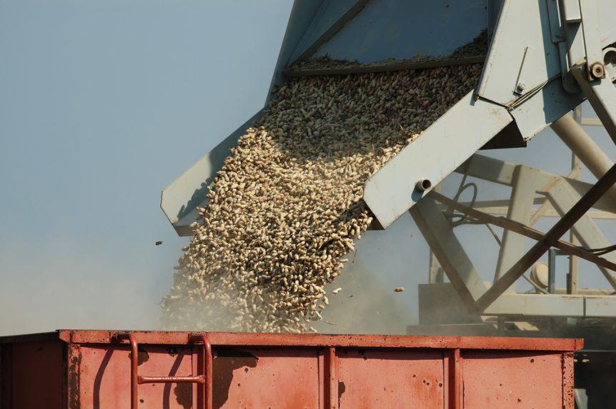 peanut yield