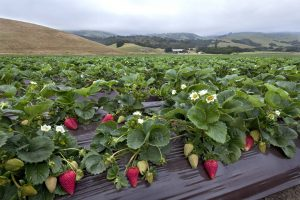 California Strawberry Commission Website
