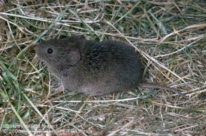 Vole Management Tool