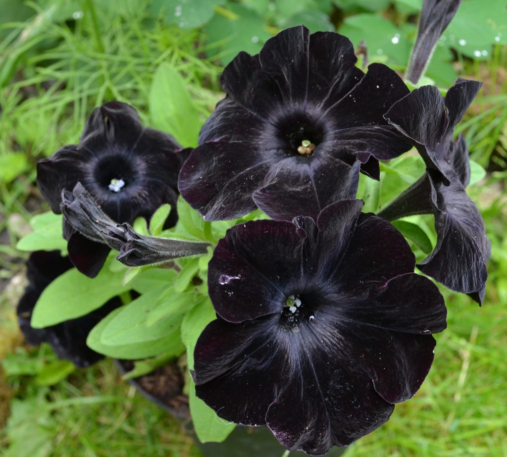 11 Gorgeous Ͽ� Black� Blooms: Black Flowers To Add To Your Garden