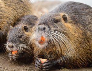 nutria eradication
