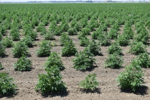 hemp acreage